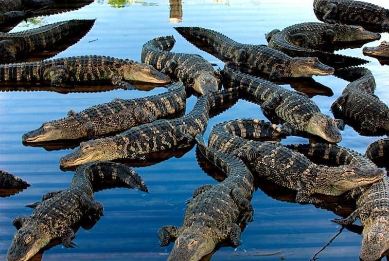 Florida Aligators